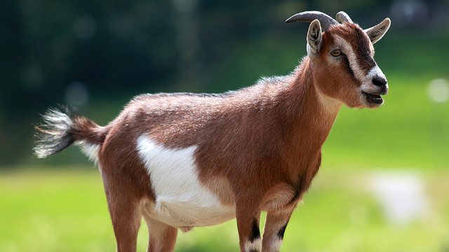Ancient Goat Genomes Reveal a Mosaic of Domestication