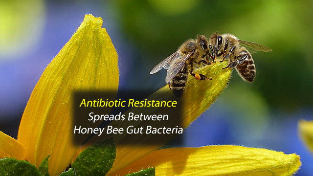 Antibiotic Resistance Genes Spread Between Bacteria in the Honey Bee Gut