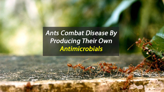 Ants As A Source of Novel Antibiotics?
