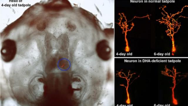 Study finds brain development suffers from lack of fish oil fatty acids