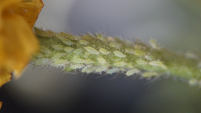Aphid Pests Avoid Bacterial Hazards Using Sight