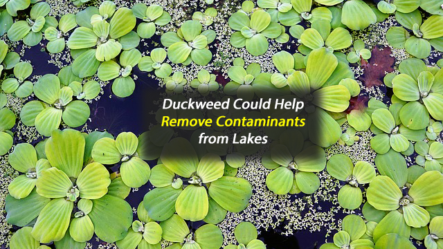 Aquatic Plant May Help Remove Contaminants From Lakes
