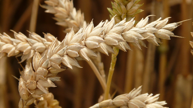 Archaeologists Find Key to Tracking Ancient Wheat