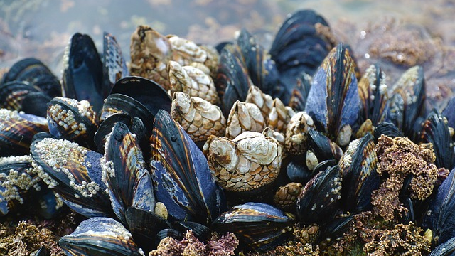 Are Mussels Really Good Indicators of Ocean Pollution?