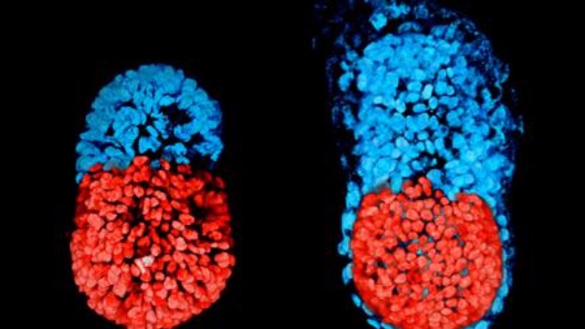 Artificial Mouse Embryo Created in Culture