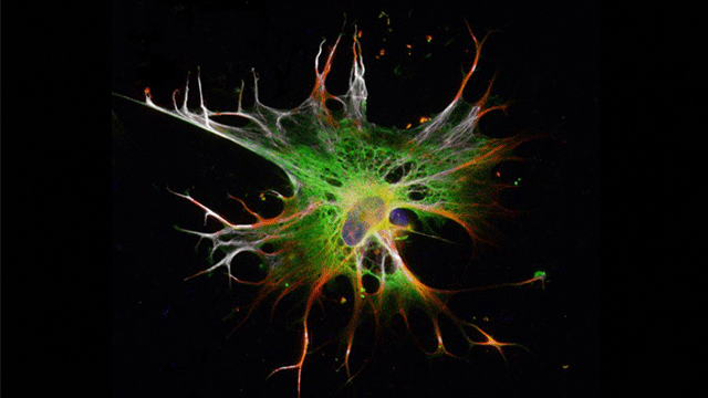 Astrocytes Derived from Pluripotent Stem Cells in 2 Weeks