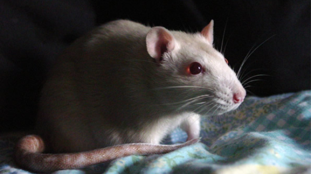 THC makes rats lazy, less willing to try cognitively demanding tasks: study