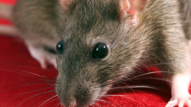 Drink-seeking rats provide sobering look into genetics of alcoholism