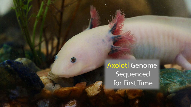 Axolotl Genome is the Largest Ever Sequenced