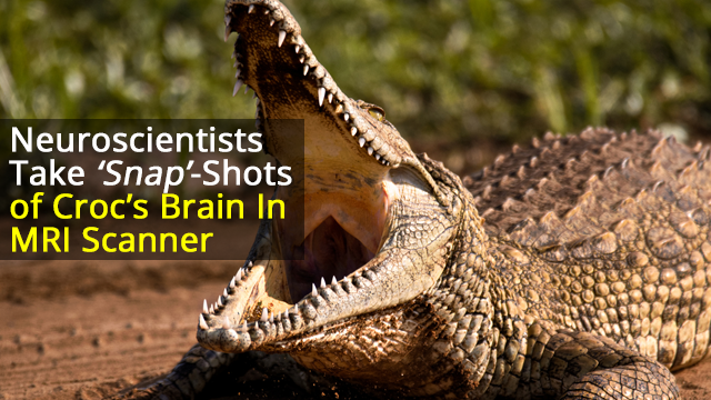 Bach Worse Than His Bite? Crocodile Listens to Classical Music in MRI Machine