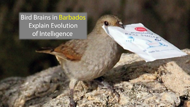 Barbadian Bird Brains Explain Evolution of Intelligence