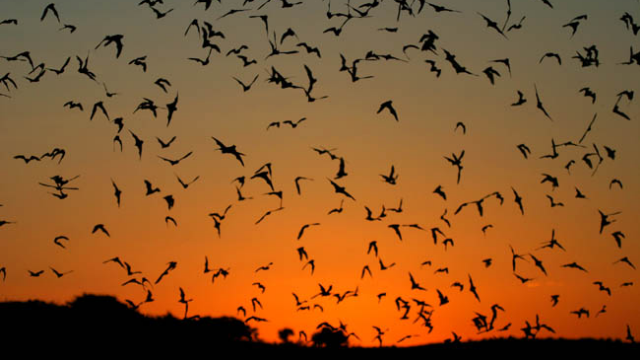 Bats Identified as Major Global Coronavirus Resevoir