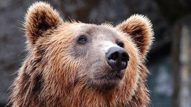 Bear Saliva Used to Rapidly Test for Antibiotics