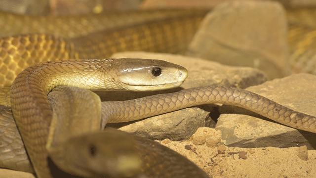 Black Mamba Snake Venom Neutralized with Human Antibodies