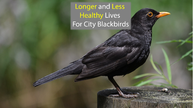 Blackbird DNA Suggests a Longer, Less Healthy Life in the City
