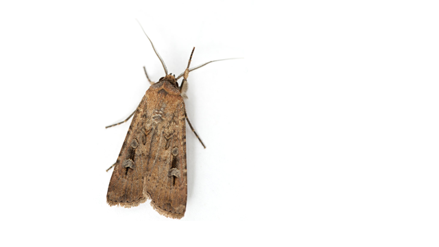 Bogong Moths Use Magnetic Fields to Navigate