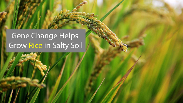 Boosting Rice Growth in Salty Soil