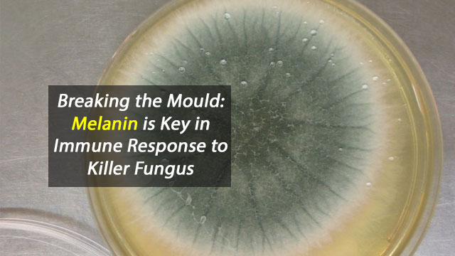 Breaking the Mould: Melanin is Key in Immune Response to Killer Fungus
