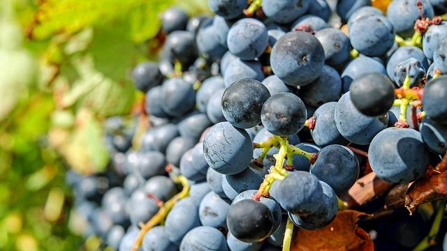 Breakthrough to Combat Devastating Grape Disease