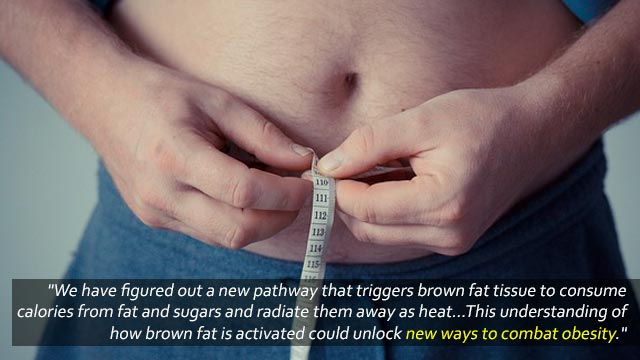 Brown Fat Flexes its Muscle to Burn Energy
