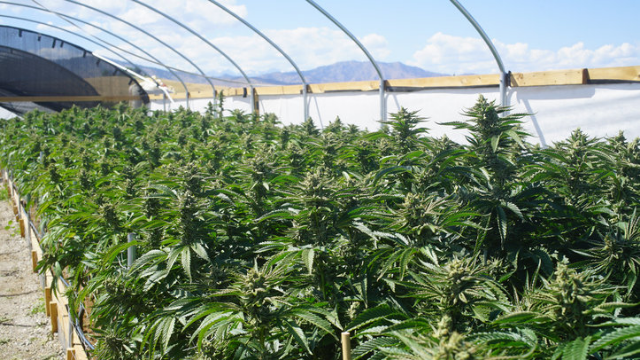 Cannabis Cultivation Hurts Environment
