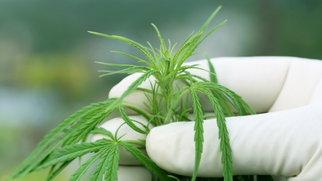 Cannabis Found to be Safe, Effective Treatment in Major Study of Thousands of Cancer Patients