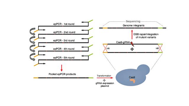 CasPER Uses CRISPR to Diversify Enzymes