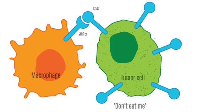CD47: Regulation of cellular phagocytosis in cancer, inflammation & neurobiology