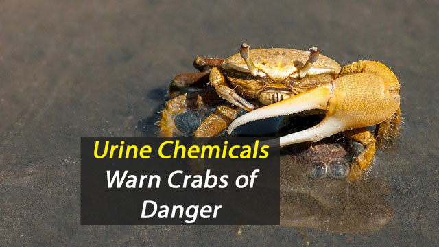 Chemicals in Crab Urine Alert to Danger