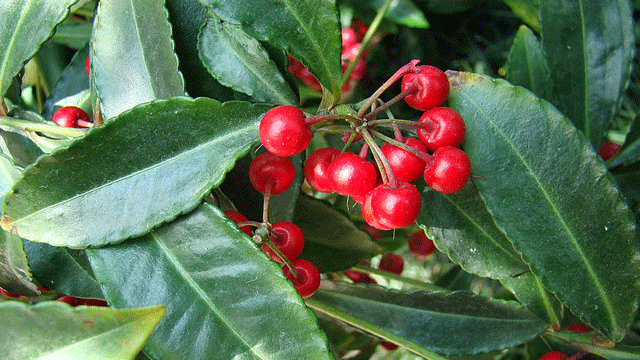 'Christmas Berry' Plant Compound Blocks Uveal Melanoma Cell Growth