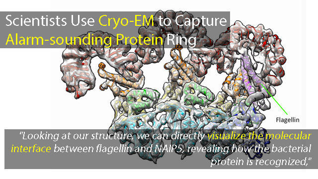Closer Look at Immune Proteins Provides Insight into Potential Pathogen Protection Strategies