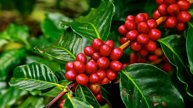 Coffee, Chocolate and Christmas Trees at Risk