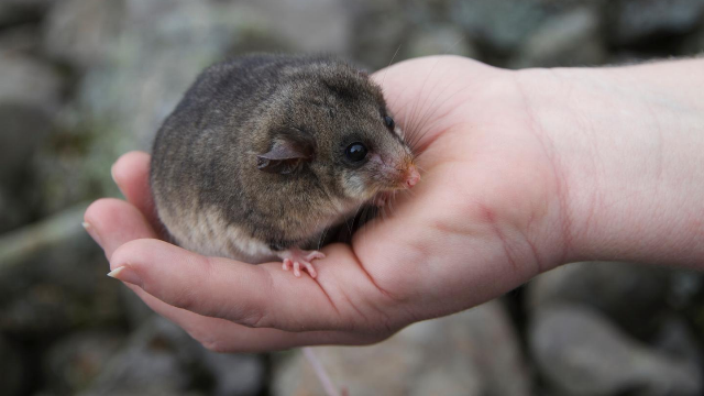 Coming to the Genetic Rescue of Australia's Endangered Marsupials