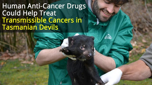 Could Cancer Drugs Help Save the Tasmanian Devil?