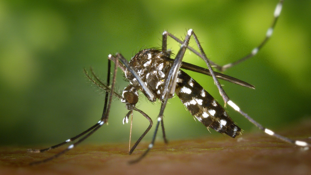 Could CRISPR Help End Mosquito-borne Diseases?