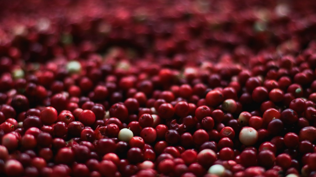 Cranberries May Help to Nourish Our Beneficial Gut Bacteria