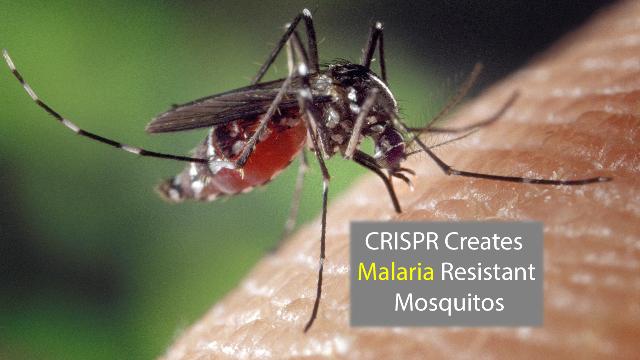 CRISPR Creates a Malaria-Resistant Mosquito