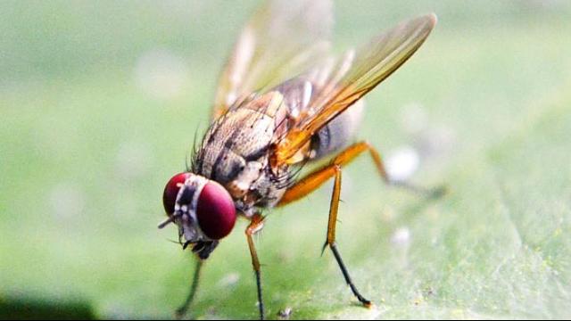 CRISPR Method Supresses Fertility in Agricultural Pests