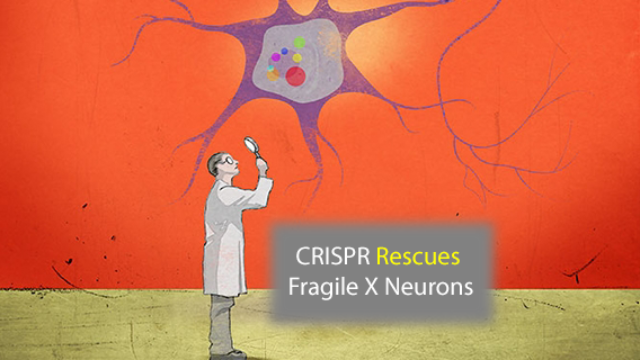 CRISPR Rescues Fragile X Syndrome Neurons
