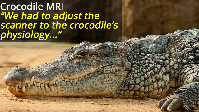 Crocodiles Listen to Classical Music in MRI Scanner