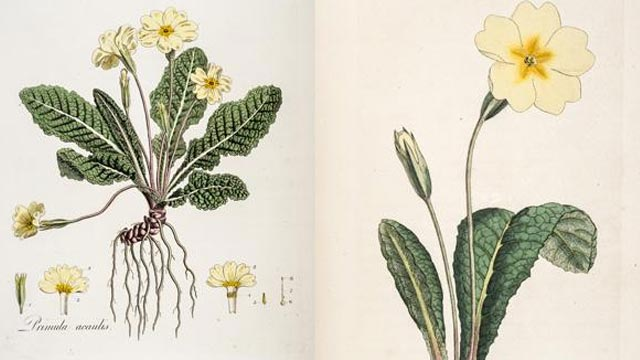 Darwin's Beloved Common Primrose is Genetically Transformed