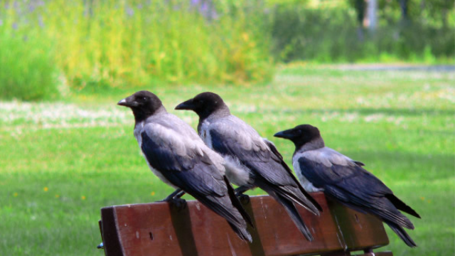 Crows are smarter than you think