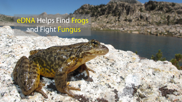 DNA Tool Finds Frogs and Fights Fungus