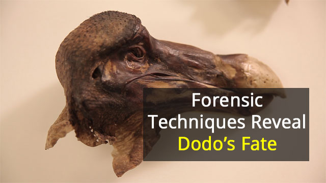 Dodo's Violent Death Revealed