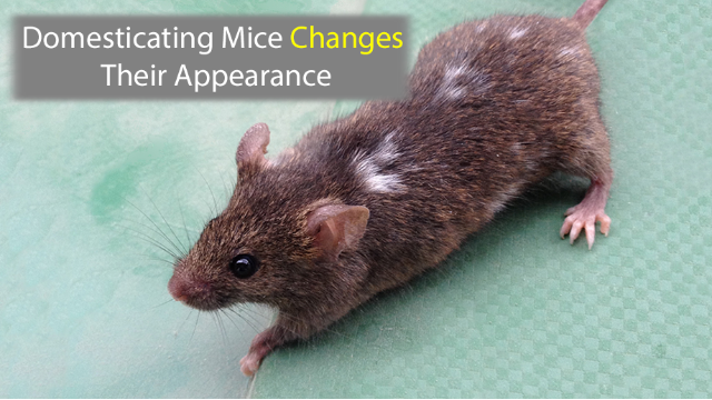 Domesticating Mice Changes Their Appearance