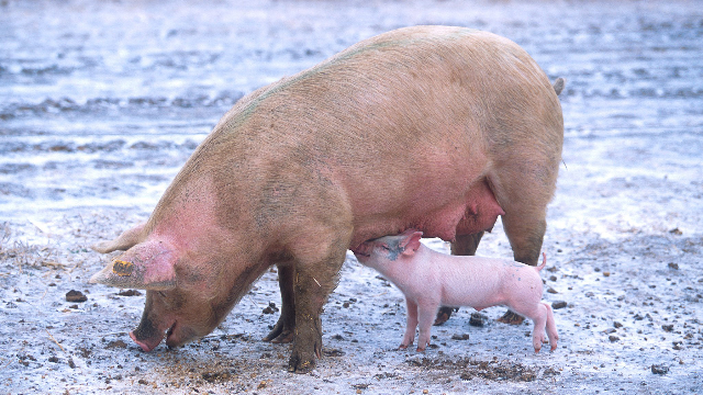 Dosing Pigs With Hormones Affects Their DNA
