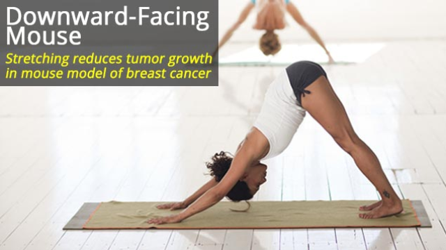 Downward-Facing Mouse: Stretching Reduces Breast Cancer Tumor Growth