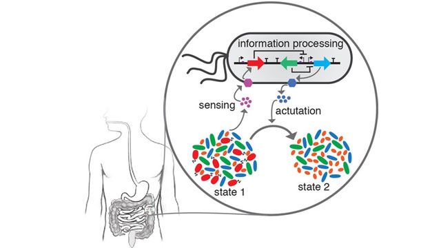 Dynamic Modelling Helps Predict the Behaviors of Gut Microbes