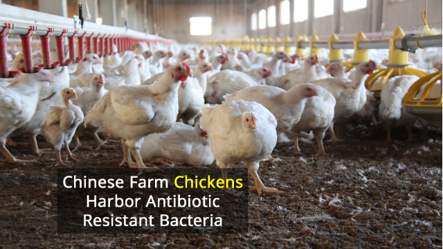 E. Coli Resistance Gene Combination Found in Chicken Farm