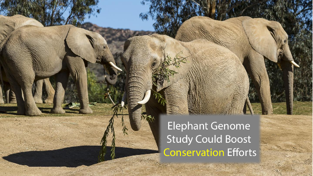 Elephant Genome Provides Evidence to Boost Conservation Efforts